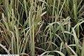 Glyceria spectabilis variegata Picta 2zz.jpg