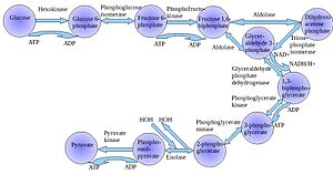 History of biochemistry - Shown here is a step-wise depiction of glycolysis along with the required enzymes.