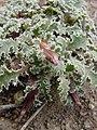 Glyptopleura marginata in SW Idaho 2.jpg