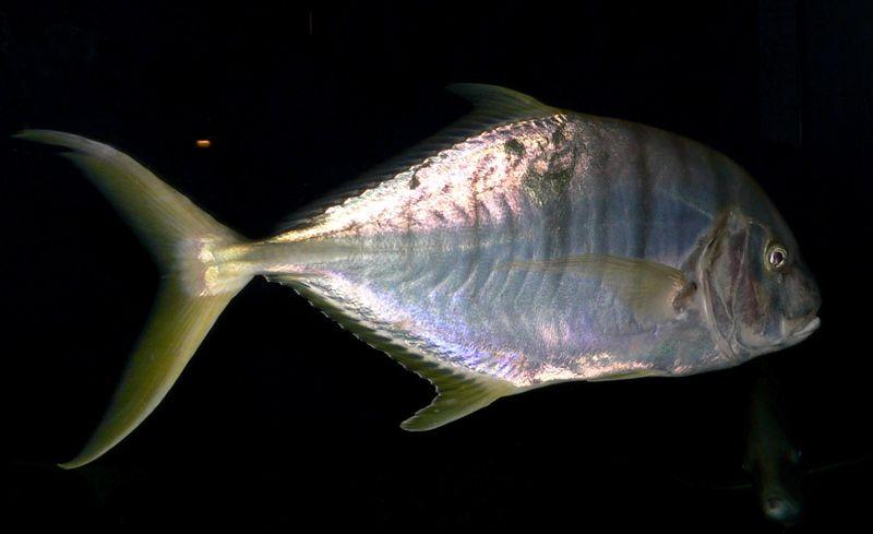 Gnathanodon speciosus 1.jpg
