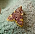 Gold Triangle. Hypsopygia costalis - Flickr - gailhampshire.jpg