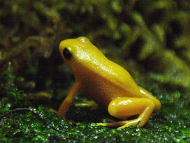Golden mantella.JPG
