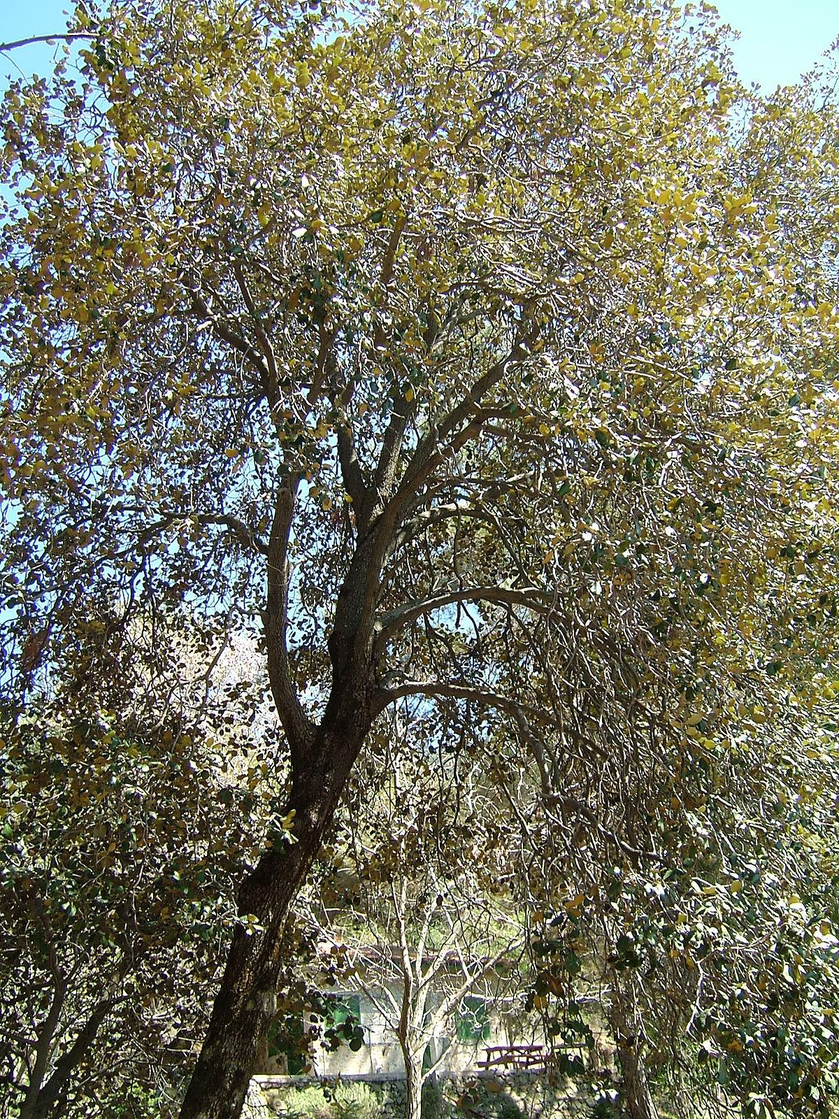 Quercus Alnifolia Wikipedia