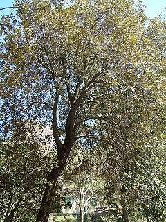 <i>Quercus alnifolia</i> species of plant
