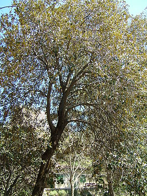 Quercus alnifolia - A golden oak tree