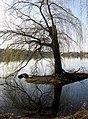 Grünende Trauerweide im Freiburger Seepark.jpg