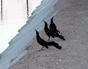 Lek mating - A group of three male great-tailed grackles trying to attract the attention of a receptive female