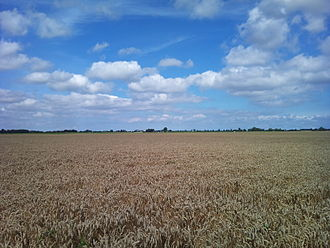 Groningen (province) - Wheat field near Nieuw-Beerta in the Oldambt