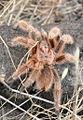 Grammostola rosea 02.JPG
