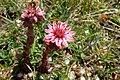 Gran Sasso flora.jpg