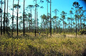 Pinus elliottii - Slash pine growing in a maritime savanna on the Mississippi and Alabama state line - Grand Bay National Estuarine Research Reserve, 1998
