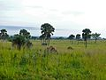 Grass Savannah with Palmyra Palms (Borassus aethiopum) (7083090663).jpg