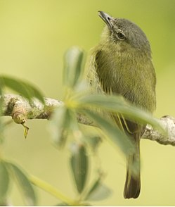 Gray-crowned Flatbill.jpg