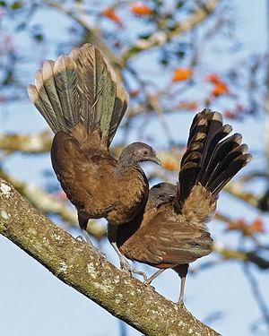 Grey-headed chachalaca - Gray-headed chachalacas displaying (Costa Rica)