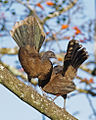 Gray-headed Chachalaca.jpg