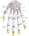 Gray220 - Distal phalanges of the hand.png