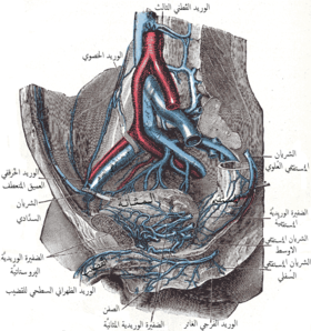 The veins of the right half of the male pelvis. (Iliolumbar artery not labeled, but Iliolumbar vein visible at center right.)