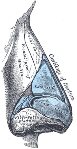 Nasal cartilages - Cartilages of the nose. Side view. (Greater alar cartilage visible in blue at center right.)