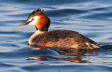 Great-Crested-Grebe cropped.jpg