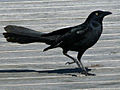 Great-tailed Grackle RWD.jpg