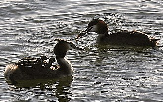 Julian Huxley - Great crested grebes