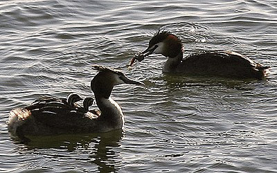 Great crested grebes GreatCrestedGrebes.jpg