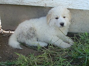 Great Pyrenees - Puppy, approx. two months old