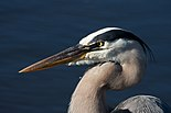 Great Blue Heron 0887.jpg