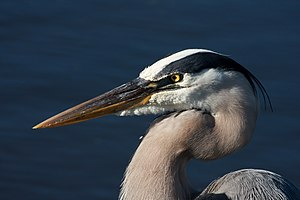 A Great Blue Heron (Ardea herodias), taken at ...