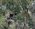 Great Cormorant (Phalacrocorax carbo) in Hyderabad, AP W IMG 5008.jpg
