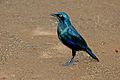 Greater Blue-eared Starling (Lamprotornis chalybaeus) (17263790265).jpg