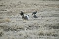 Greater Sage-Grouse (7094276929).jpg
