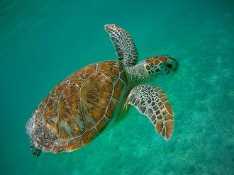 Akumal - Green sea turtle (Chelonia mydas) swimming in Akumal