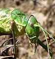Green Bush cricket. Steropleurus andalusius levantinus.^ Tettigoniidae. Sub family. Ephippigerinae - Flickr - gailhampshire (6).jpg