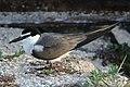 Grey-backed Tern.jpg