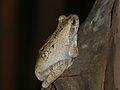 Grey Foam-nest Treefrog (Chiromantis xerampelina) (13721317584).jpg