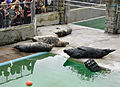 Grey Seals at Gweek.jpg