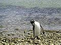 Grooming King Penguin Falkland Islands.jpg