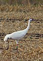 Grus americana -Michigan, USA-8.jpg