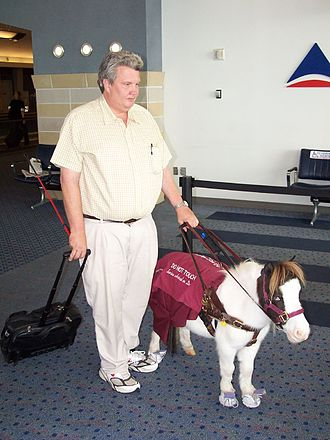 Guide horse - A demonstration image of a miniature horse working as a service animal.