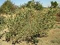 Guiera senegalensis Piry 1.jpg