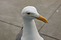 Gull (7007337730).jpg