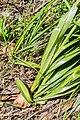 Gymnadenia conopsea in Chablais (2).jpg