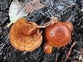 Gymnopilus croceoluteus Hesler 588348.jpg