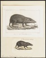 Gymnura rafflesii - 1700-1880 - Print - Iconographia Zoologica - Special Collections University of Amsterdam - UBA01 IZ20900027.tif