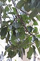 HKCL 香港中央圖書館 CWB tree 高山榕 Ficus altissima Oct-2017 IX1 01.jpg