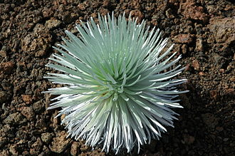 Haleakalā - This rare species of Silversword is fragile and lives only upon the slopes of Haleakalā.