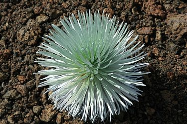 This rare species of Silversword is fragile and lives only upon the slopes of Haleakala. Haleakalasilversword.jpg