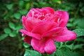 Halifax NS-02393 - Rose (29064425405).jpg