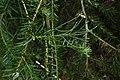Halocarpus kirkii kz10.jpg